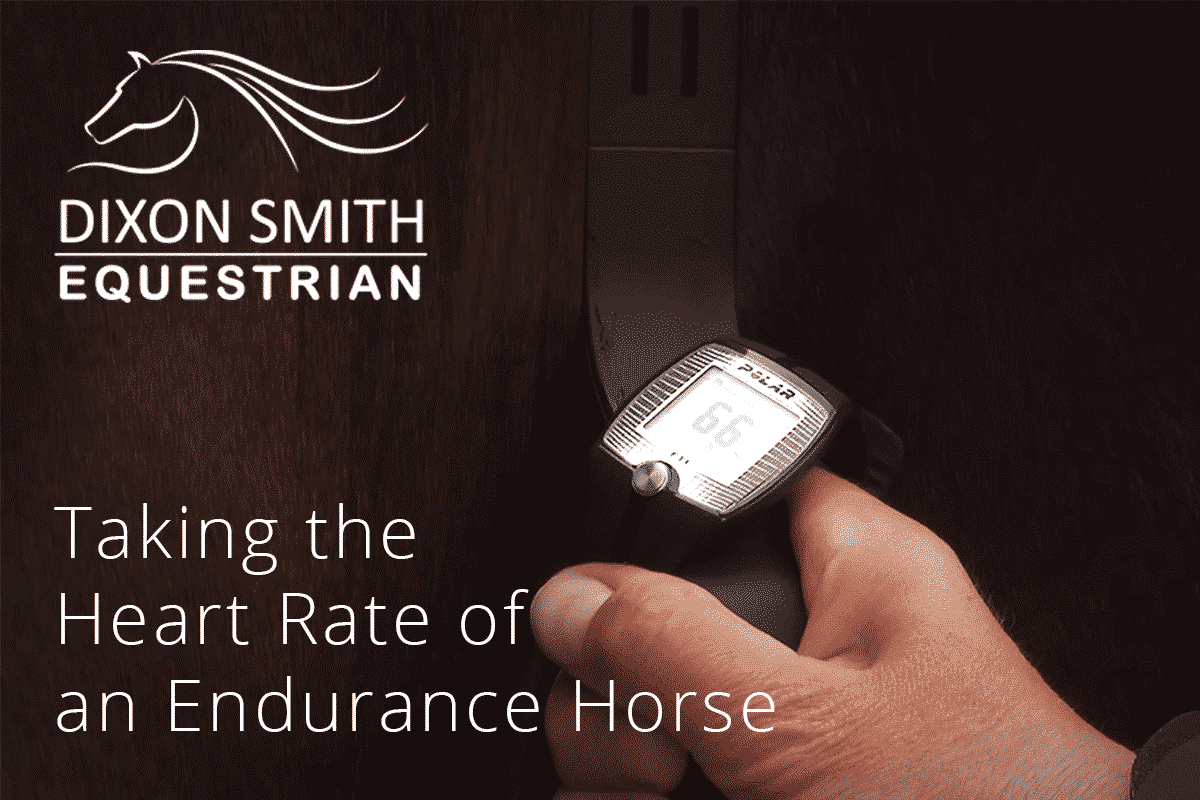 Taking The Heart Rate Of An Endurance Horse Dixon Smith Equestrian Heartbeatmonitorcircuitjpg
